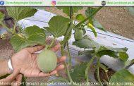 Demplot Uji Varietas Melon di Kec. Danau Teluk Kota Jambi